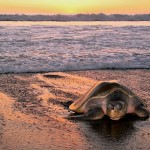 Turtle Trekking - In Search of Costa Rica's Arribadas